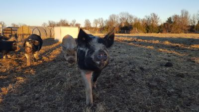 Fox Valley Homestead :: Idaho Pasture Pigs